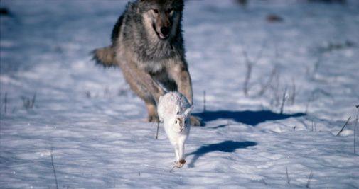 Wolf eating rabbit - photo#4