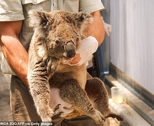 And taken to the koala hospital.