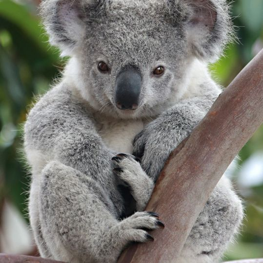 In case you forgot what a living koala looks like.